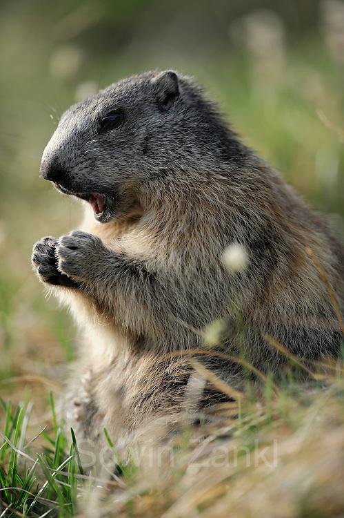 Alpine Marmot (Marmota marmota). High Tauern National Park, Austria. | Alpenmurmeltier (Marmota marmota). Nationalpark Hohe Tauern, Österreich.