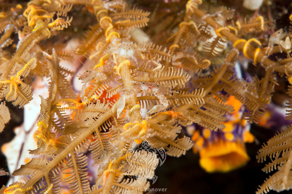 Porcelain Crabs and Brittle Stars crowd a hydroid<br /> <br /> shot in Indonesia