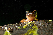 Dunn's salamander (Plethodon dunni) photographed at night in the rain near Mt. Defiance in the Columbia River Gorge, OR.
