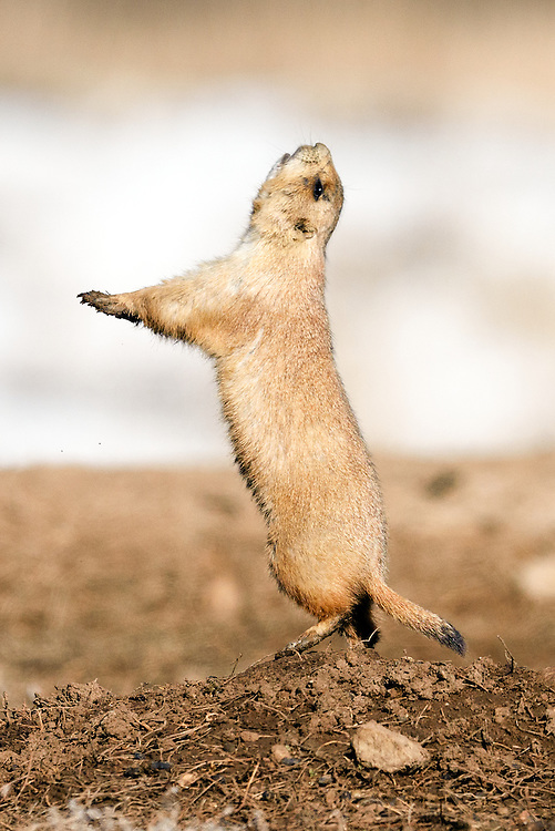 Black tailed prairie dog (Cynomys ludovicianus) in jump-yip display, Mcintosh Lake, Longmont, Colorado