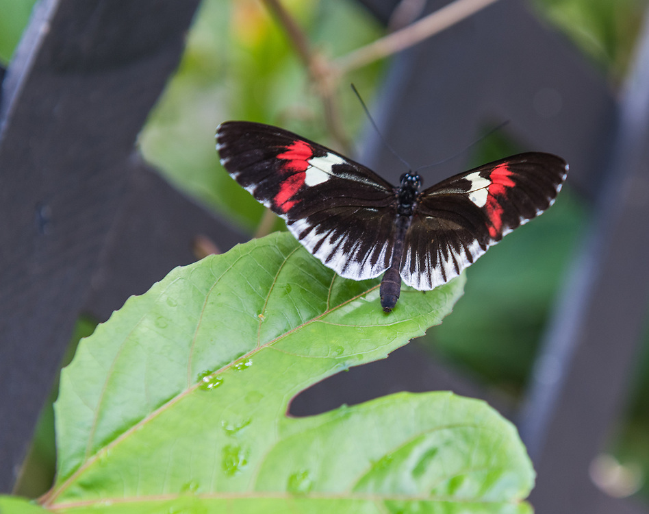 A postman butterfly with black wings and red and white markings lands on a green leaf.