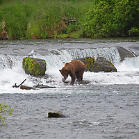 USA, Alaska, Katmai. Btown Bear with salmon at Brooks Falls.
