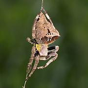 Parawixia sp., garden spider, in Chaloem Phrakiat Thai Prachan National Park, Thailand.