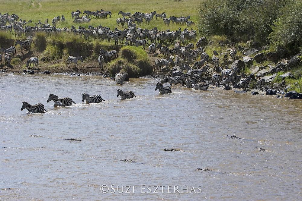 Nile Crocodile<br /> Crocodylus niloticus<br /> Hungry crocodiles approaching zebra as they cross the Mara River<br /> Maasai Mara Reserve, Kenya