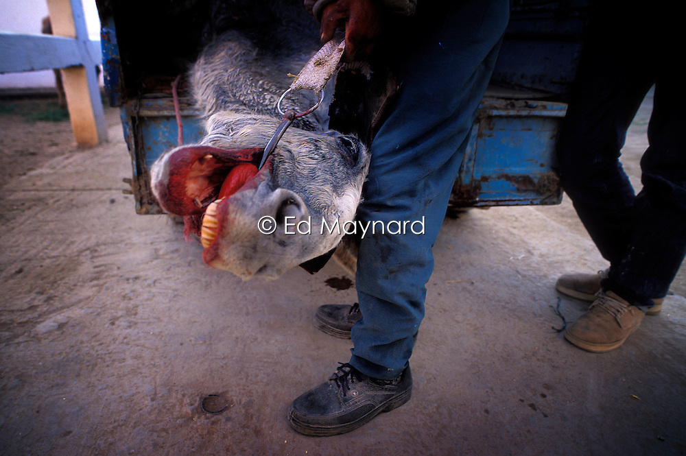 An injured mule, in shock, and subsequently found to have a smashed shoulder after slipping on the road while pulling a wagon, is brought to the SPANA refuge in Marrakech by its owner. Unable to help, the animal was euthanised by SPANA vets shortly after.