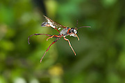 A sphecid wasp or thread waisted wasp photographed with a high-speed camera in Matobo National Park, Zimbabwe. © Michael Durham / www.DurmPhoto.com