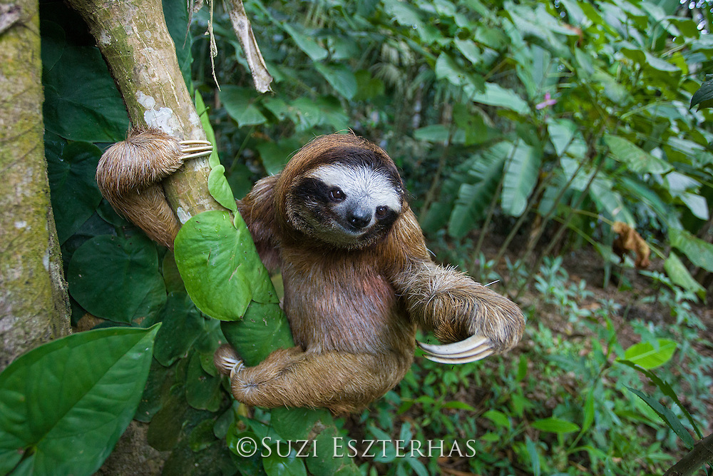 Brown-throated Three-toed Sloth <br /> Bradypus variegatus<br /> Male<br /> Aviarios Sloth Sanctuary, Costa Rica<br /> *Captive - Rescued and in rehabilitation program