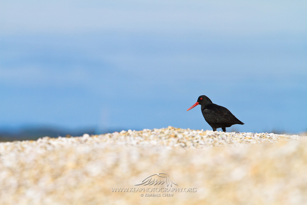 Variable Oystercatcher, Southland, New Zealand