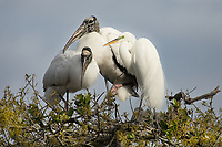 Two nesting wood stork are joined by an egret.