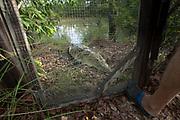 Always ready to eat, a Morelet's crocodile (Crocodylus moreletii) challenges its enclosure gate at feeding time. Pine Savanna Nature Reserve, Belize.