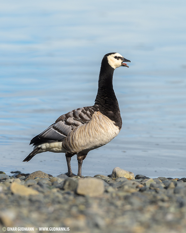 Barnacle Geese breed mainly on the Arctic islands of the North Atlantic. They stop in Iceland on their way to Greenland.