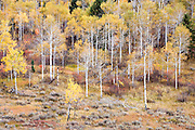 autumn aspen forest and meadow, Swan Valley Idaho