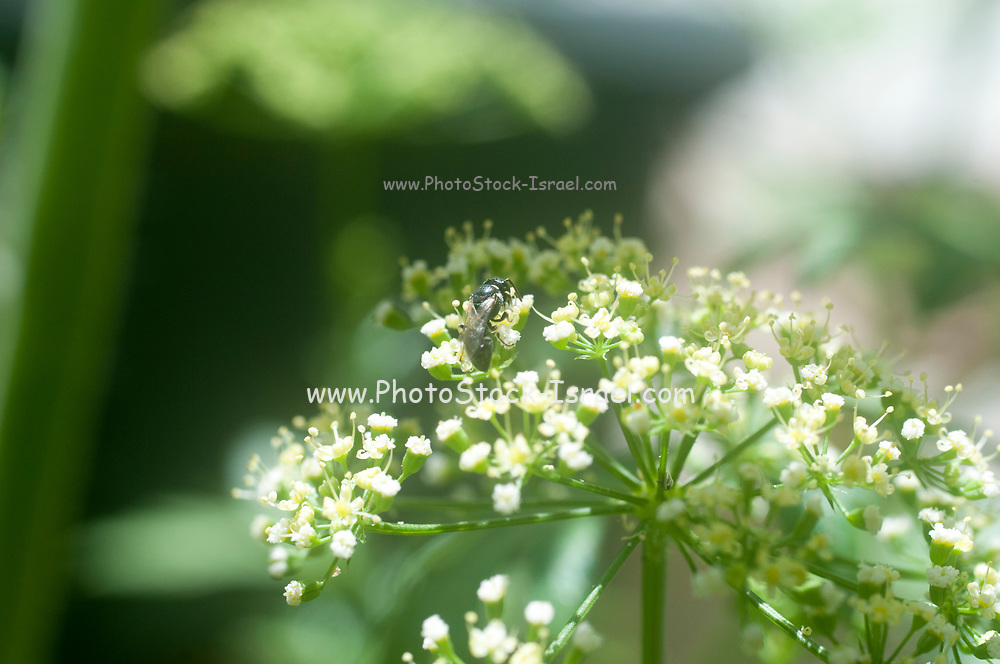 Wild bee pollinates a blooming Coriander plant