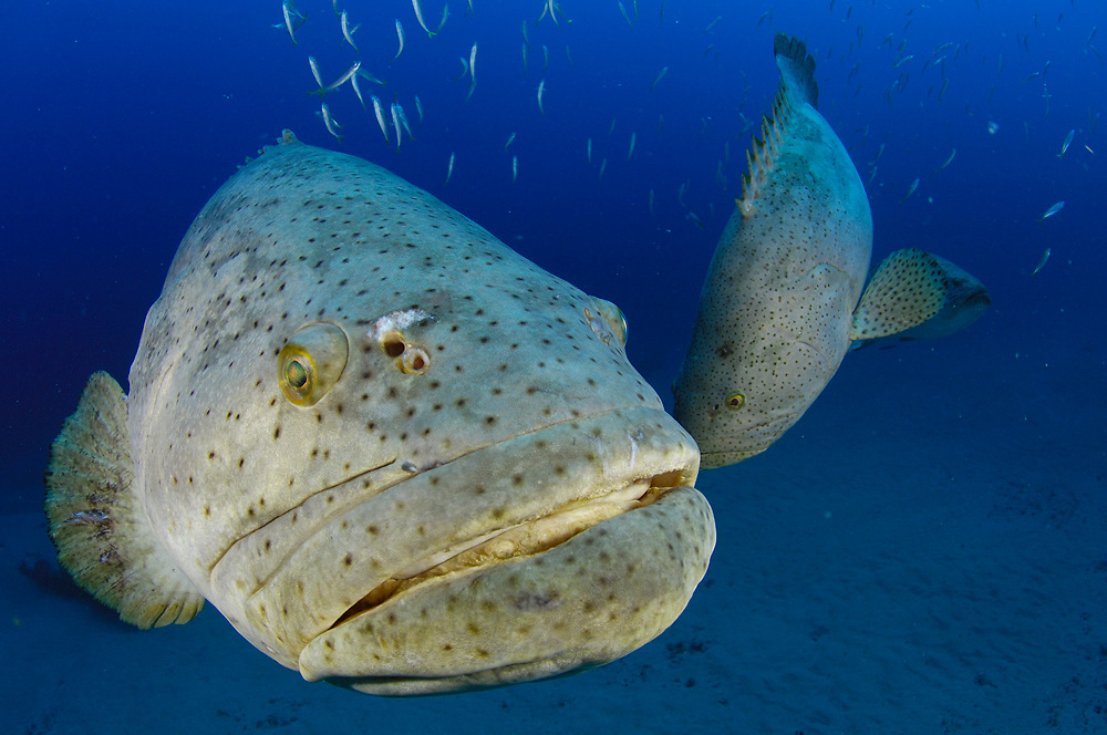 Goliath Grouper (Epinephelus itajara) during a spawning aggregation in Jupiter, FL.  Endangered and protected since 1990, this species is the largest grouper in the Atlantic, reaching 8ft. and 800lbs.