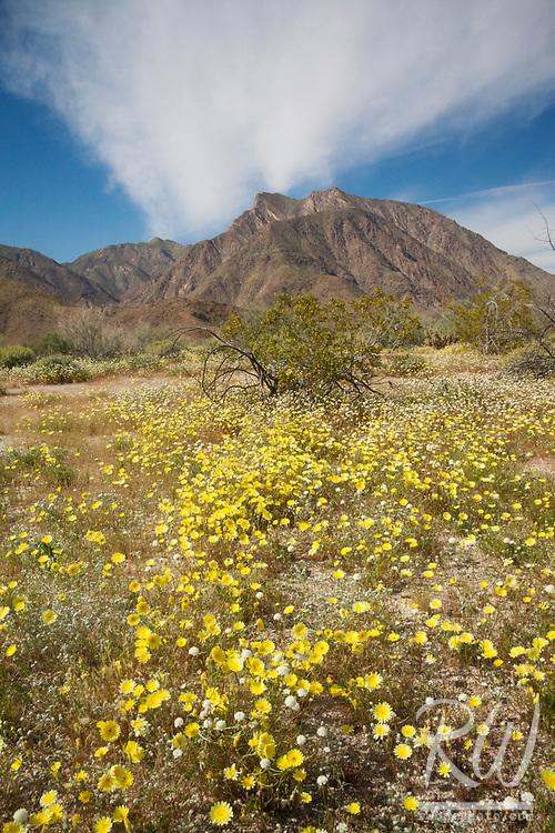 2017 Wildflower Superbloom, Anza Borrego Desert State Park, California