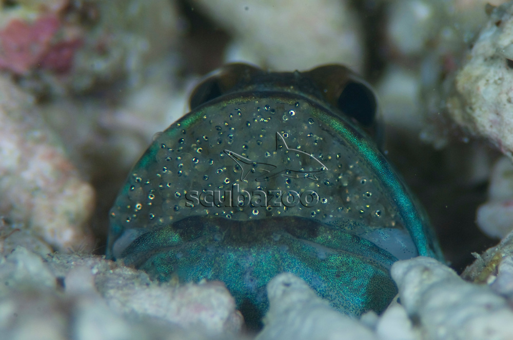 Jawfish, Opistognathus sp., with eggs, eyes of spawn visible, The Maldives