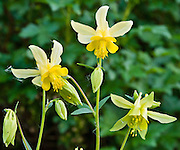 Columbine flower (genus Aquilegia, in the Buttercup family, Ranunculaceae). The Garden Wall trail is hiked from Logan Pass, Glacier National Park, Montana, USA.