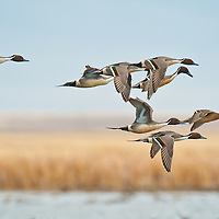 close up pintail courtship flight above water, wetlands blue sky