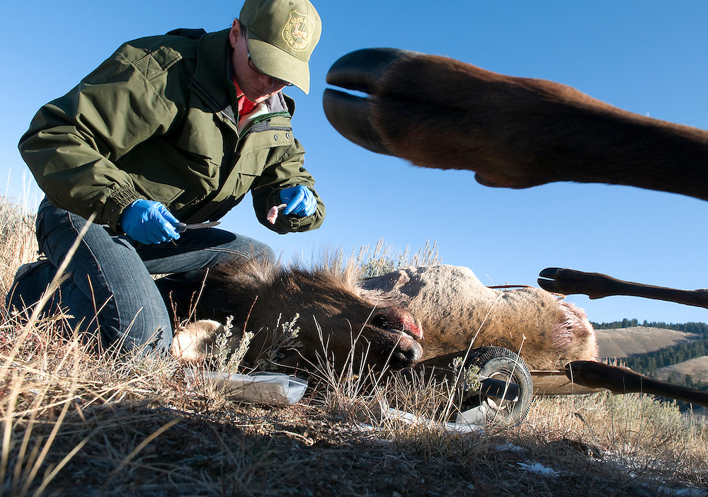 NEWS&GUIDE PHOTO / PRICE CHAMBERS.Sarah Walker, a disease technician from the Wyoming Game and Fish Department removes lymph nodes from a cow elk shot on Monday morning at the base of Blacktail Butte. Hunters volunteer the samples which are tested for chronic wasting disease. For more on this year's elk hunt in Grand Teton National Park, see the sports section.