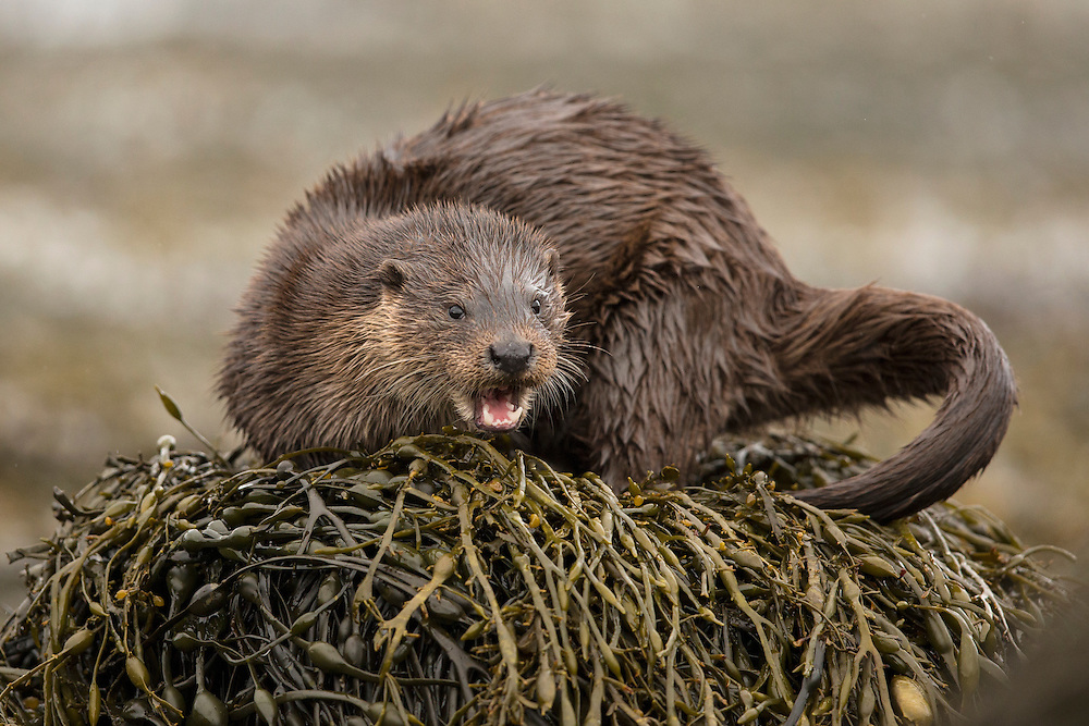 European Otter (Lutra lutra) on kelp covered rock