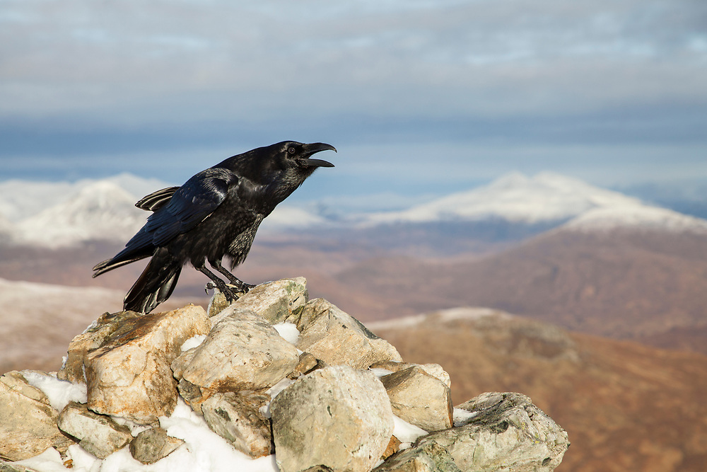 Raven (Corvus corax) adult calling from rock in wintry mountain habitat, Scotland