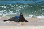 Hawaiian monk seal, Monachus schauinslandi, Critically Endangered endemic species, female  on beach at west end of Molokai, Hawaii ( Central Pacific Ocean )