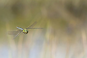 Emperor dragonfly male (Anax imperator) in flight. Thursley Common, Surrey, UK.