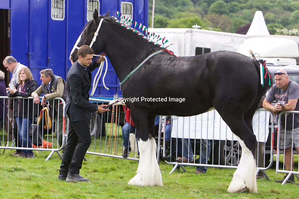 R &amp; S Cockroft's SPRINGWELL PEARL<br /> Sire  Metheringham Upton Sidney<br /> Four year old and Upwards Gelding or Mare Class