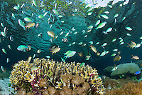 Damsels feed in the shallows above healthy Hard Corals, underneath Mangrove trees <br /> <br /> Shot in Indonesia