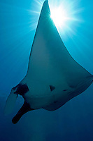 Manta Ray and Sunburst