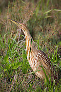 An american bittern stands in marshy grass and cranes its neck, looking for potential predators