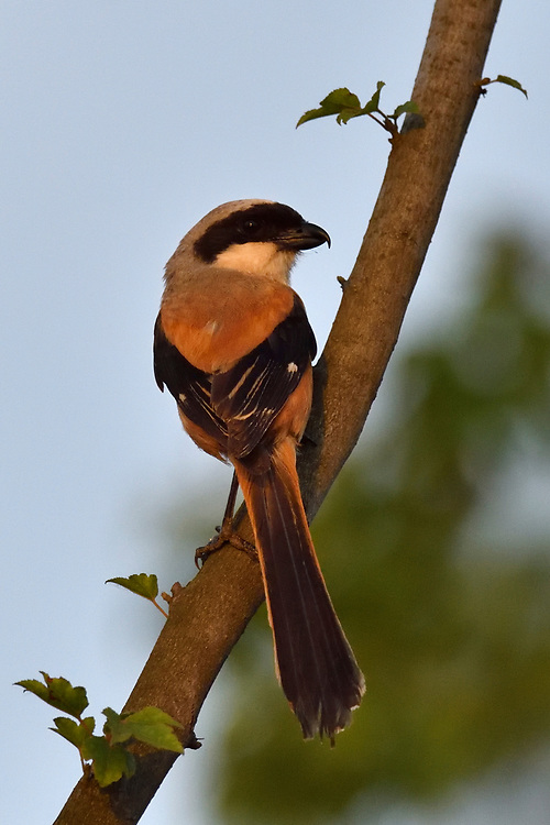 Long-tailed Shrike, Lanius schach, sitting on a branch in East Lake Greenway park, Wuhan, Hubei, China
