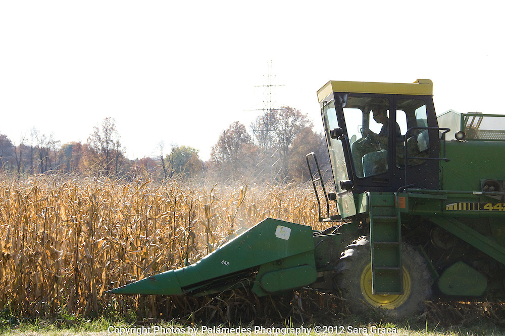 Tim Fox combines a field of heirloom corn that will be milled into corn flour, cornmeal and corn grits.