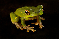 Tree frog (Litoria sp. green?)<br />Caught in the Foja Mts near Bog Camp.  1650 m elevation.