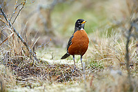 American Robin (Turdus migratorius), Parksville, British Columbia, Canada   Photo: Peter Llewellyn