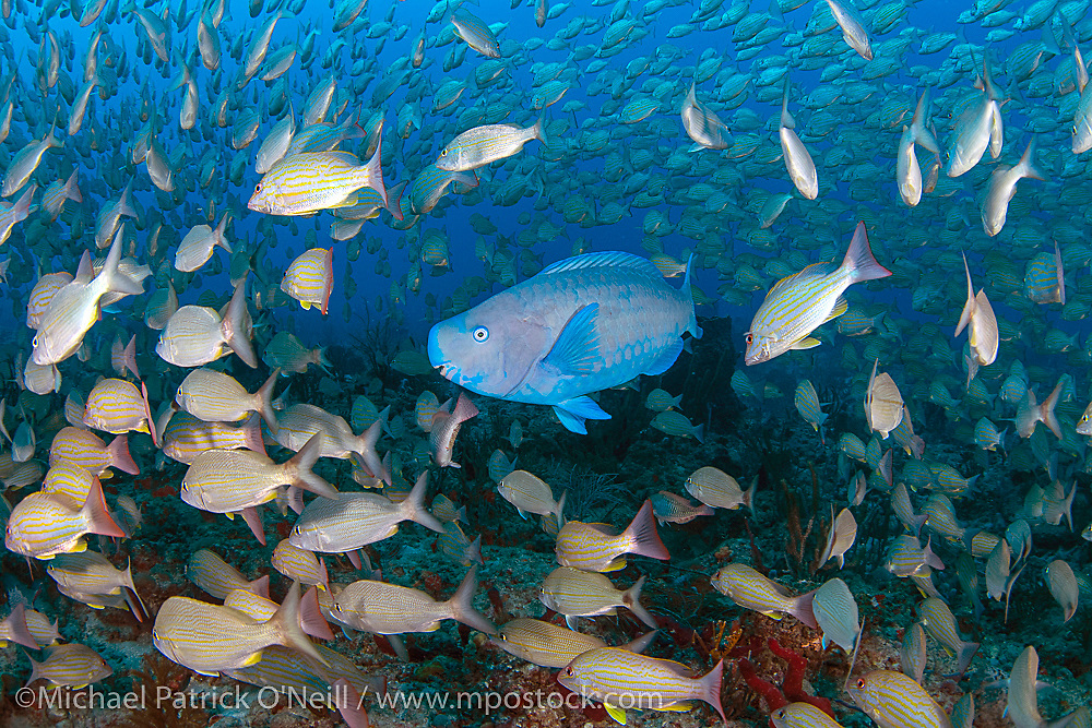 A Blue Parrotfish, Scarus coeruleus, swims among hundreds of grunts and snappers offshore Palm Beach, FL.
