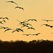 Pelican flying over Tamarind, Costa Rica, silhouetted by the sunset