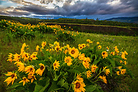 Arrowleaf balsamroot wildflowers dot the hills on Rowena Crest in the Columbia River Gorge in Oregon.