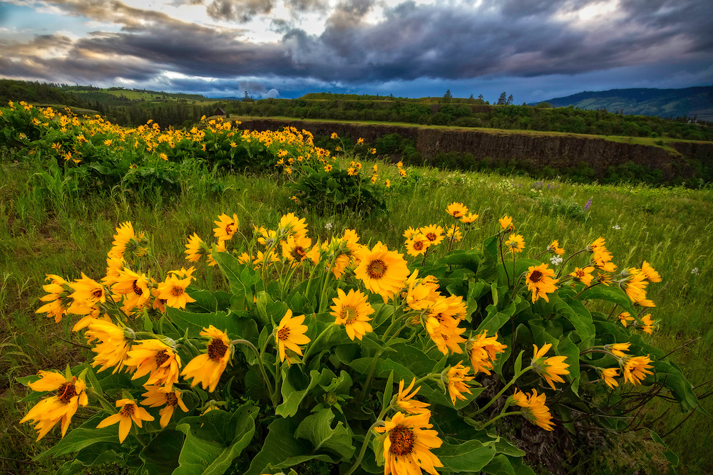 Arrowleaf balsomroot wildflowers dot the hills on Rowena Crest in the Columbia River Gorge in Oregon.