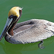 Brown Pelican breeding adult swimming