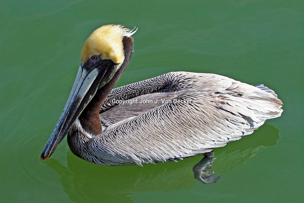 Brown Pelican breeding adult swimming