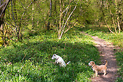 Pair of terrier dogs, playing in woodland scene at Bruern Wood in The Cotswolds, UK