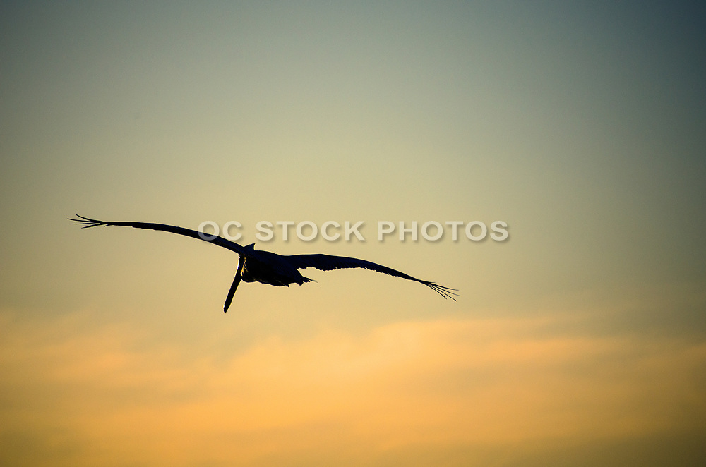 Brown Pelican Flying at Sunset