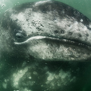 Gray whale calf (Eschrichtius robustus) resting on top of its mother in the murky waters of the gray whale calving and nursing grounds in Baja California, Mexico.