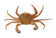 Harbour Crab - Liocarcinus depurator