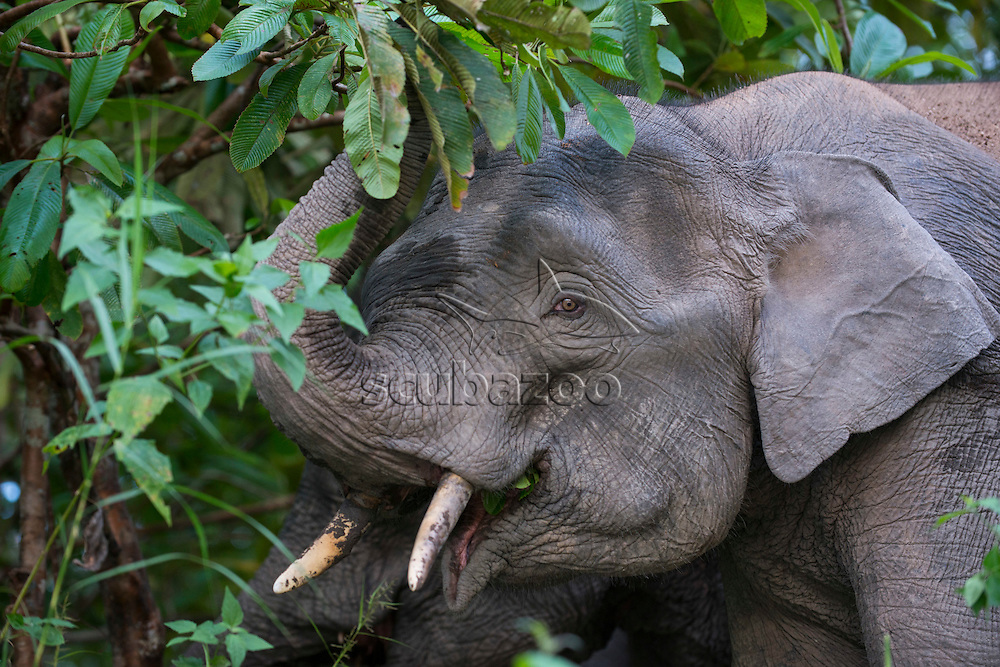 A Bornean Pygmy Elephant, Elephas maximus, feeding on leaves in a tree, trunk raised and mouth open, Kinabatangan River, Sabah, Malaysia.