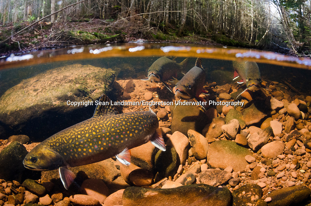 Brook Trout (spawning)<br /> <br /> Sean Landsman/Engbretson Underwater Photogrpahy