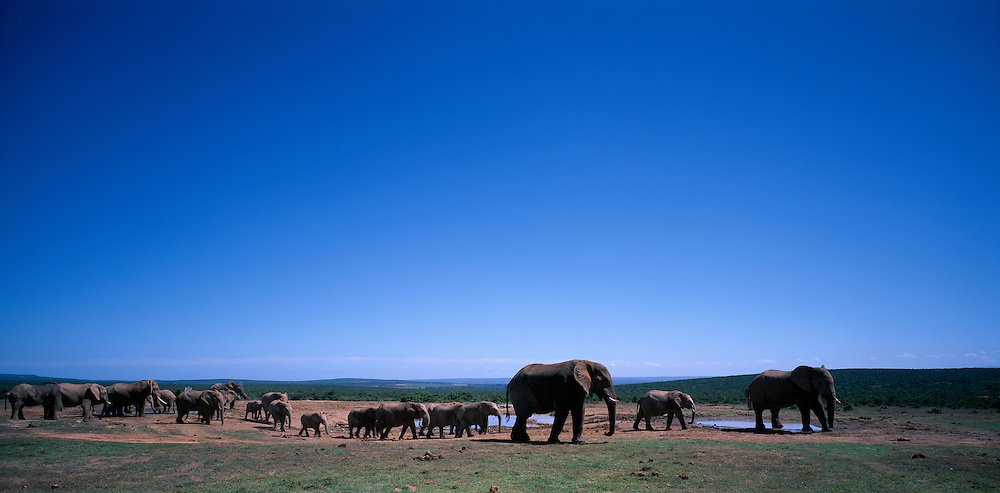 South Africa, Addo Elephant National Park,  Elephant herd (Loxodonta africana) gathers at water hole to drink and wallow in mud