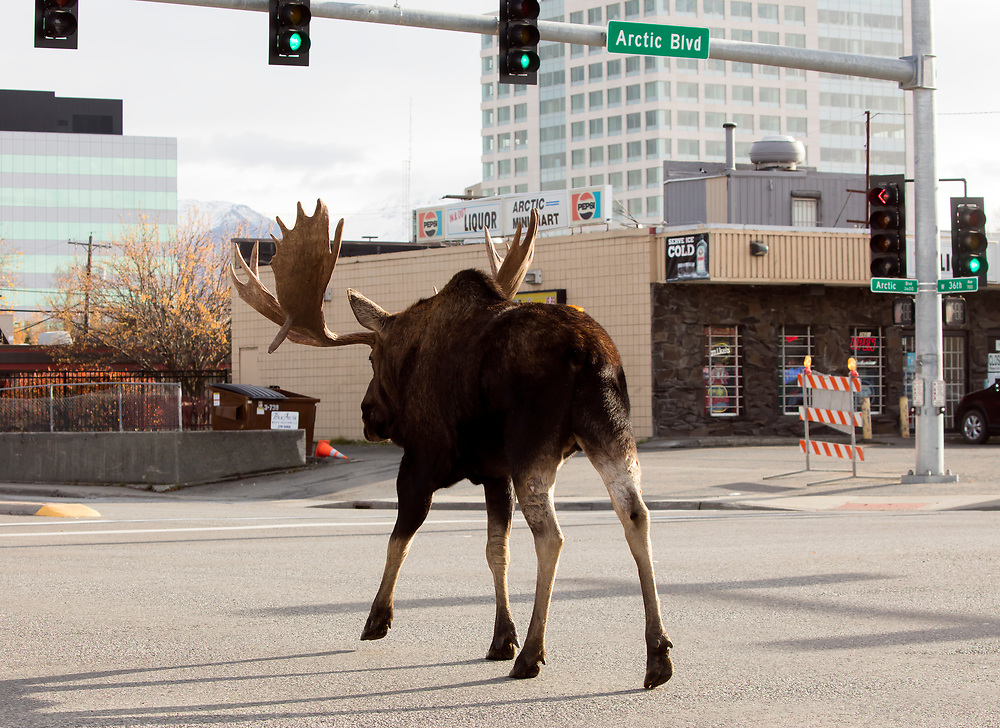 Alaska; Bull moose(Alces alces) crossing (with green light) intersection of Arctic Blvd and 36th Ave in midtown Anchorage.