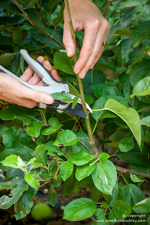Summer pruning trained apple trees